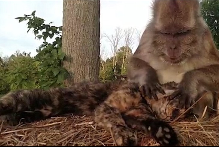 Cat Enjoys Massage: Macaque Monkey Removes Ticks From Feline And Enjoys A Tasty Treat