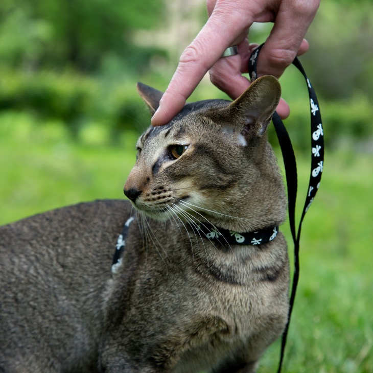 Can You Train A Cat Like A Dog? Details HERE!