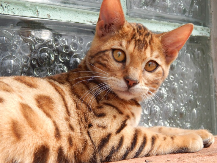 Bengal Cat Farms Popping Up World Wide, Here's What You Should Know Before You Buy A Pricey Kitten