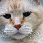 Cat Cancer: Making Difficult Decisions About Care And Treatment For Your Feline