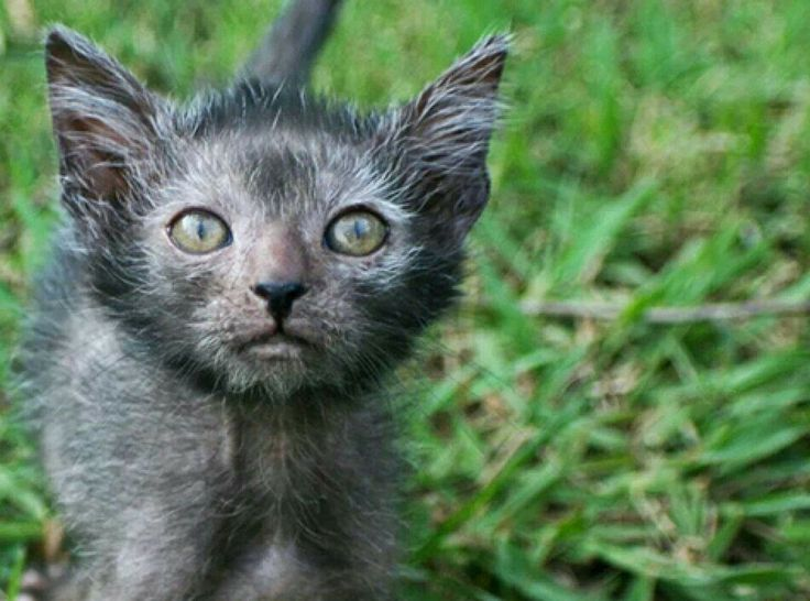 Werewolf Cats – Lykois Are Taking The States By Storm, And They're Adorable!