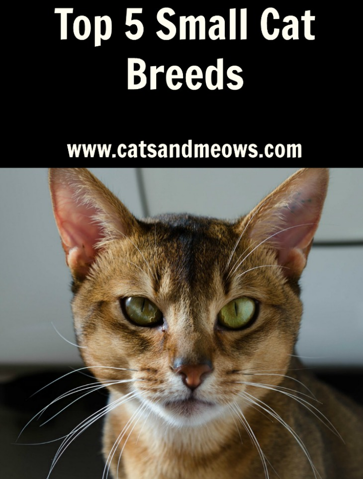 Top 5 Small Cat Breeds