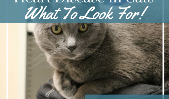 Heart Disease In Cats – What To Look For!