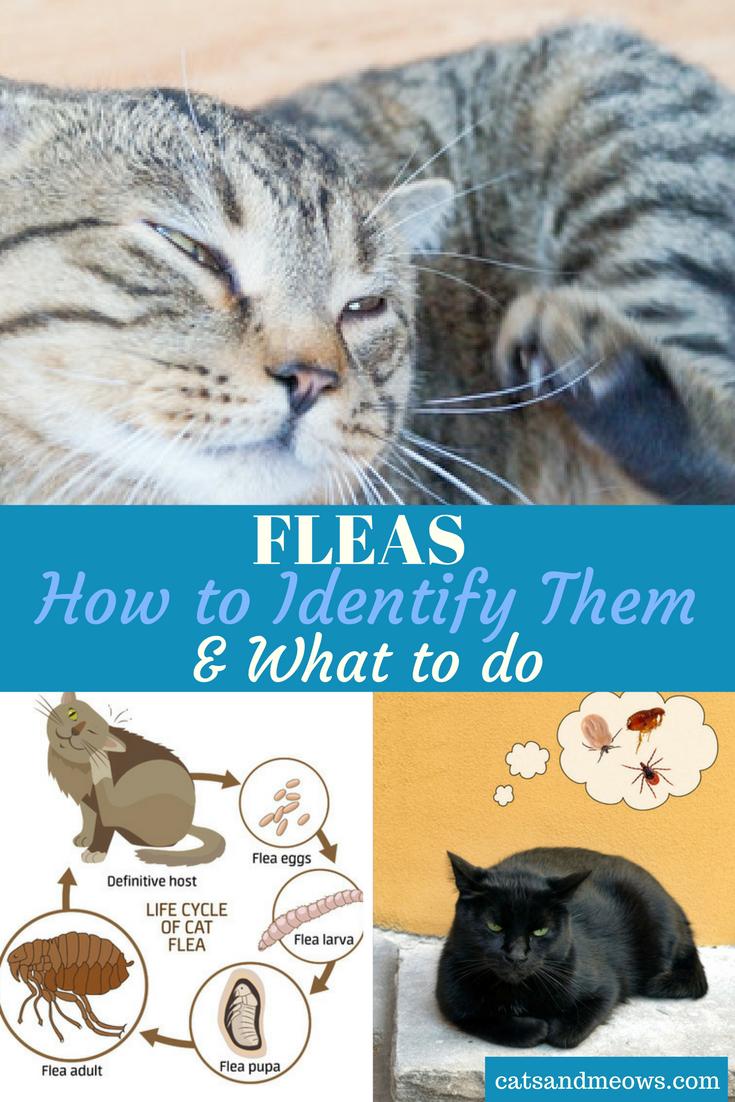 Cat Fleas how to Identify Them & What to do