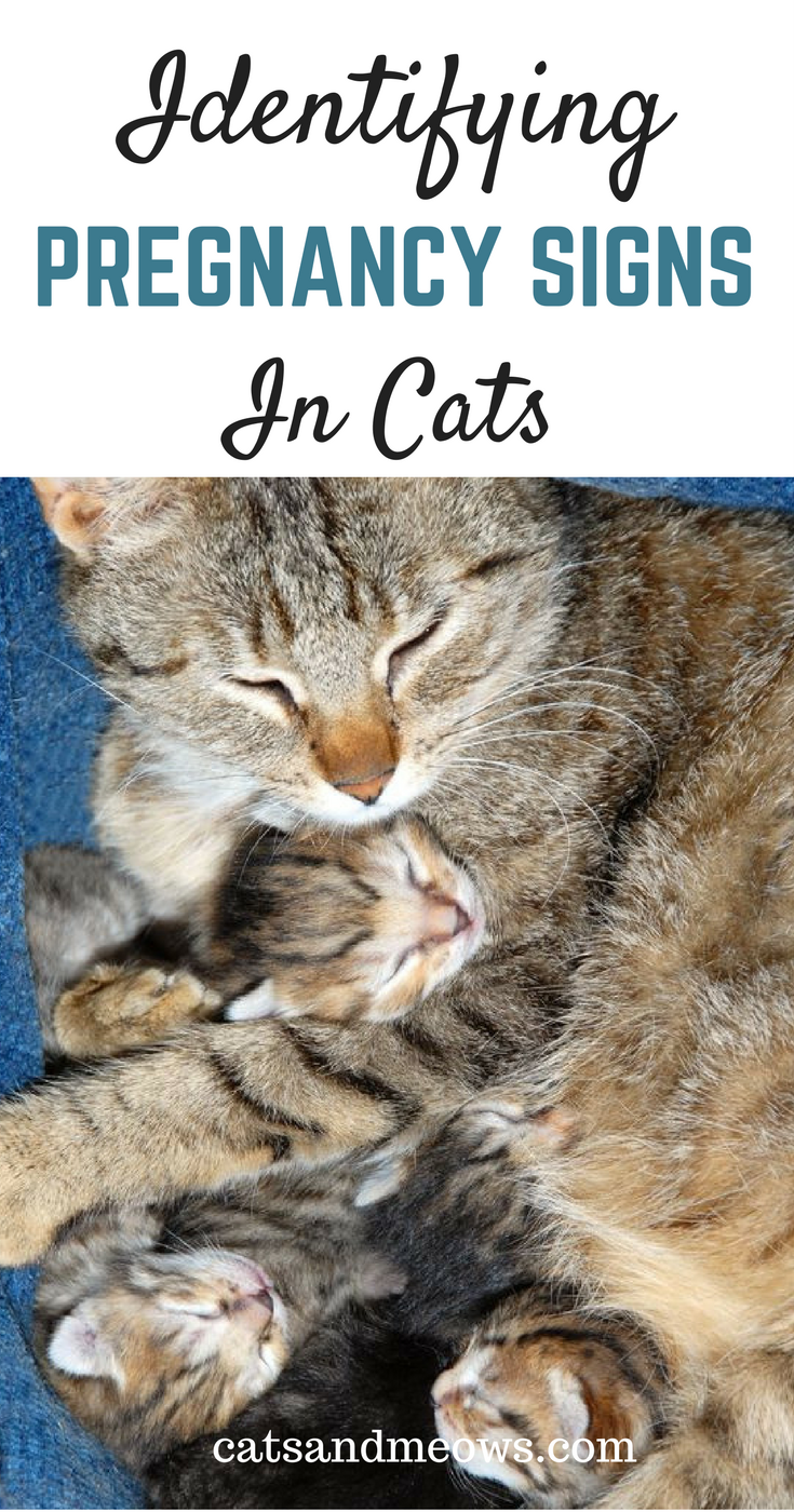 Expecting Kittens? How To Identify Pregnancy Signs in Cats