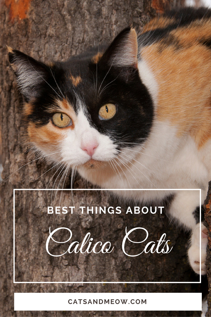 Best Things About Calico Cats