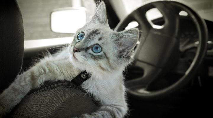 Car Travel with Cats: How to Prepare your Kitty