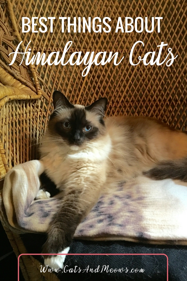 Best Things About Himalayan Cats