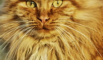 Cat Breeds That Behave Like Dogs