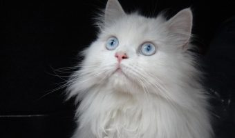 How to Clean a Persian Cat's Eyes