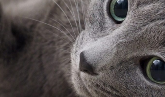 Why Russian Blue Cats are Great