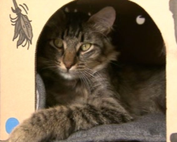 Adele Visits Vancouver Cat Café: Falls In Love with Catfe Feline Larry