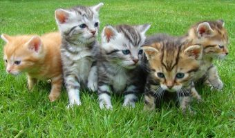 Cat Travel Regulations: Check For Guidelines And Regulations Before Adopting A Feline From Foreign Country
