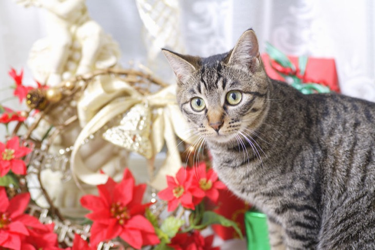 Which Holiday Plants are Toxic for Cats?