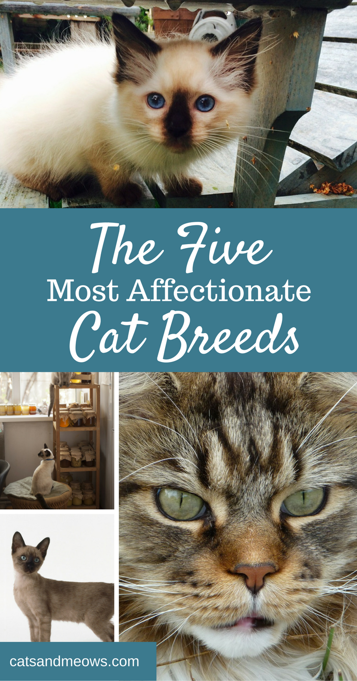 The 5 Most Affectionate Cat Breeds Cats and Meows