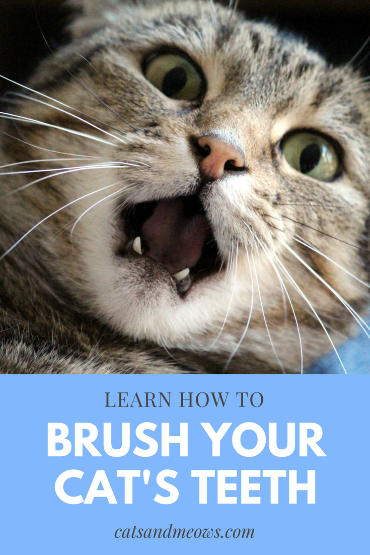 Learn How to Brush your Cat's Teeth