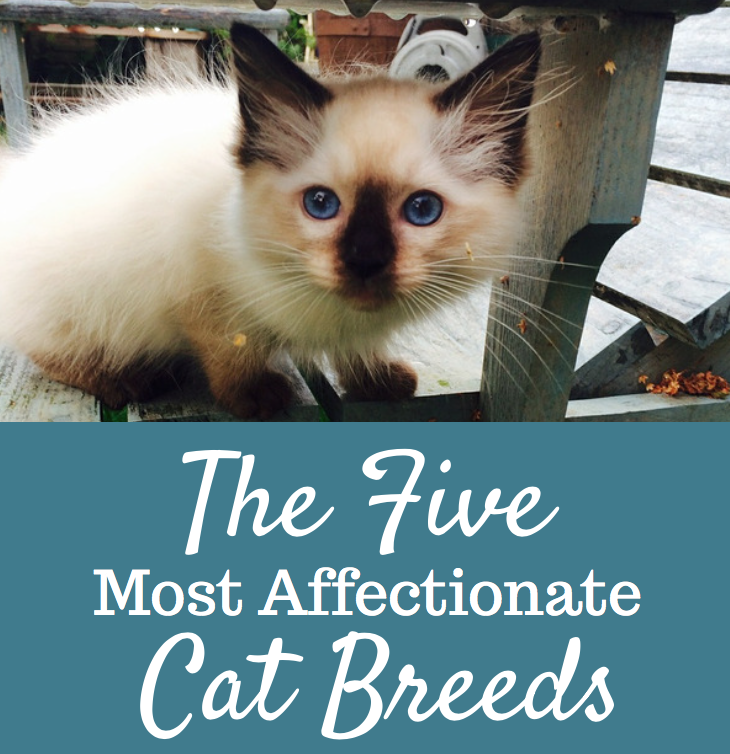The 5 Most Affectionate Cat Breeds - Cats and Meows
