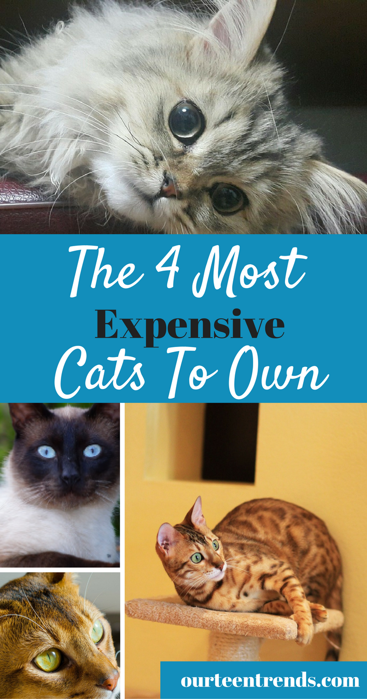 The Most Expensive Cats To Own - Their Cost and Their Ongoing Needs