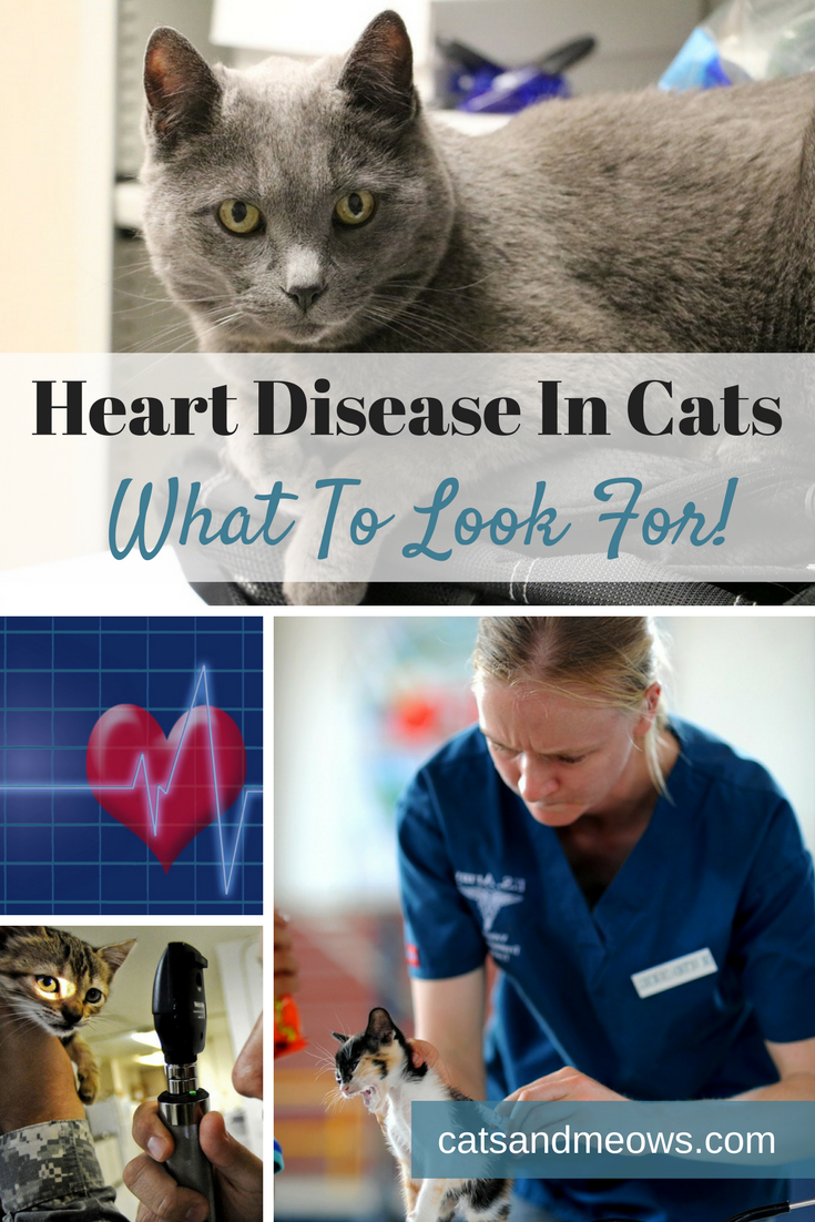 Heart Disease In Cats - What To Look For!