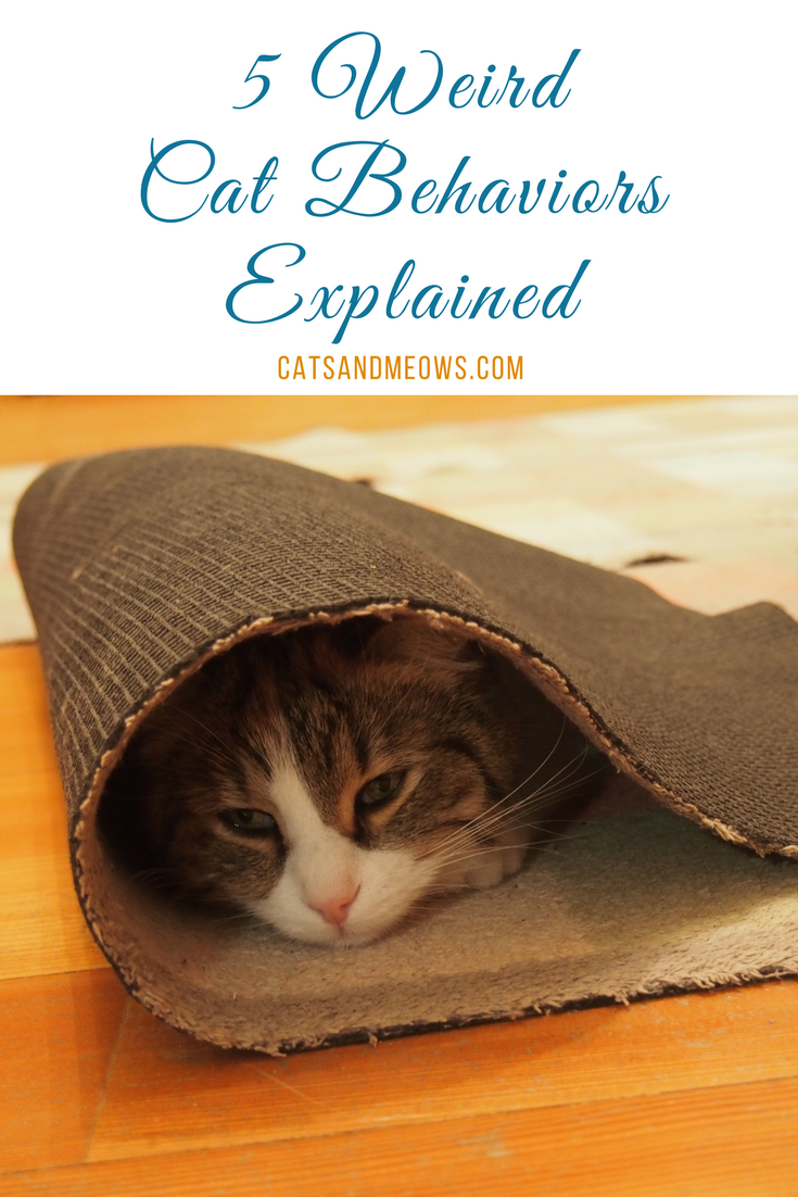5 Weird Cat Behaviors Explained