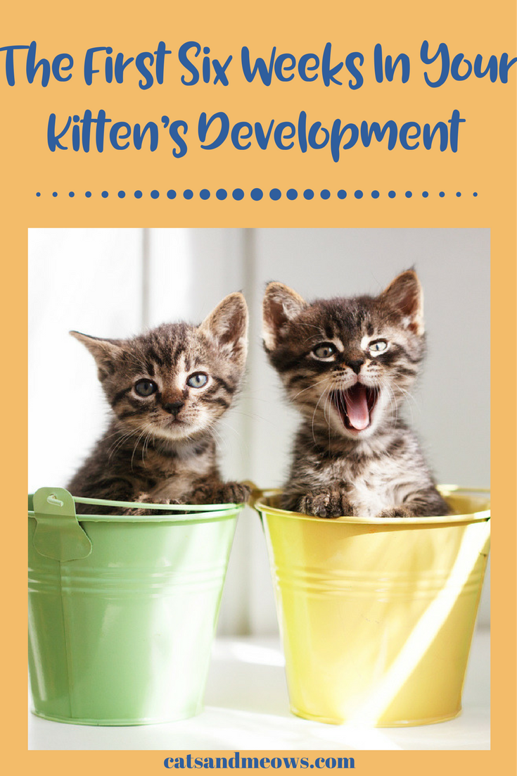 The First Six Weeks In Your Kitten's Development – What To Expect
