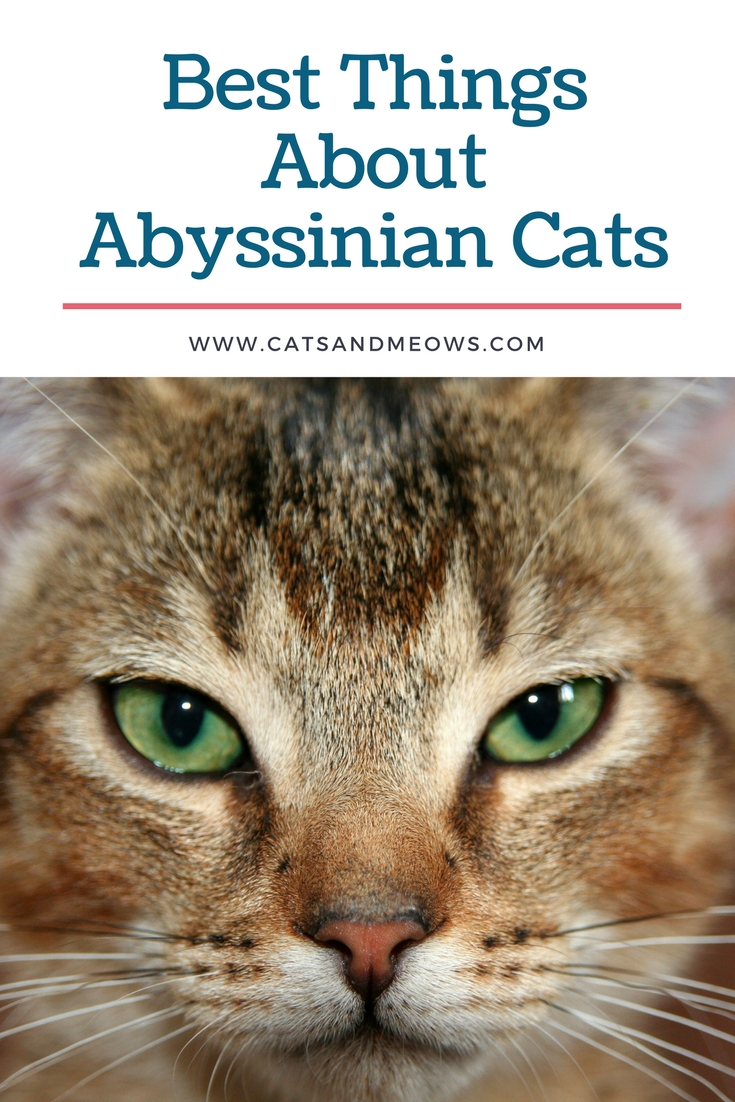 Best Things About Abyssinian Cats