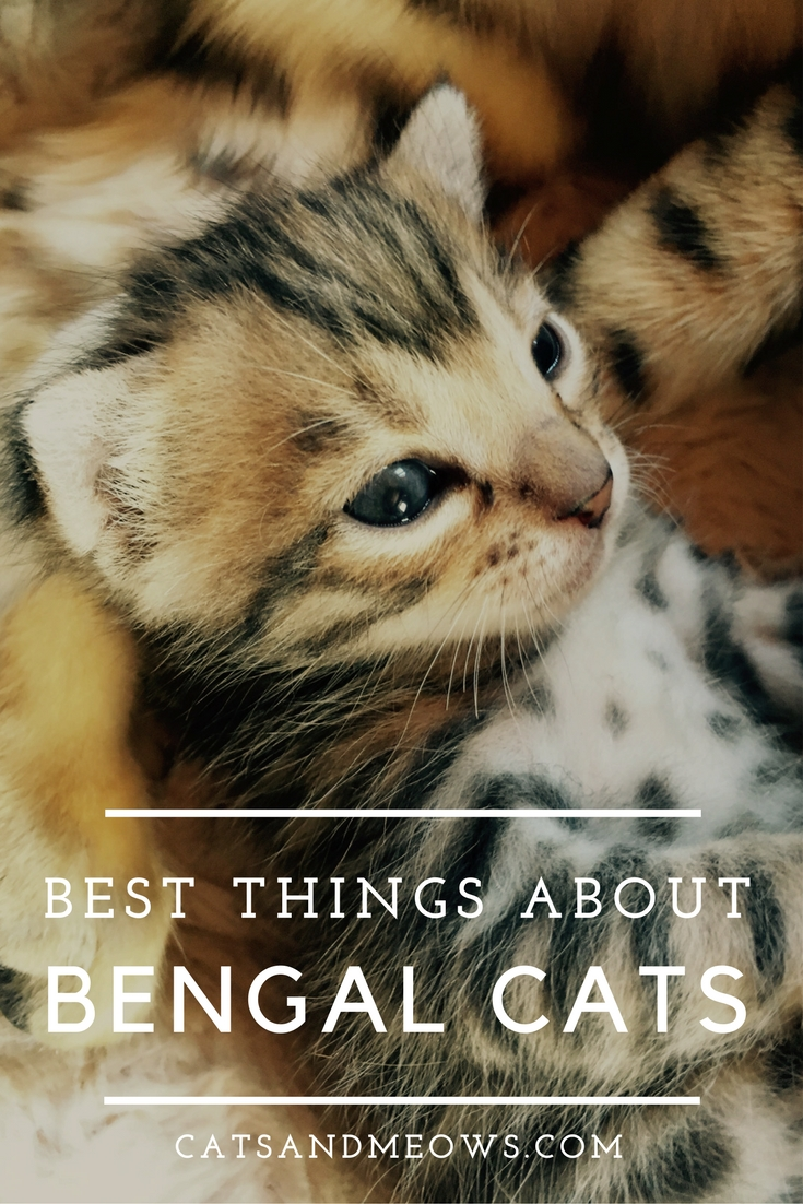 Best Things About Bengal Cats
