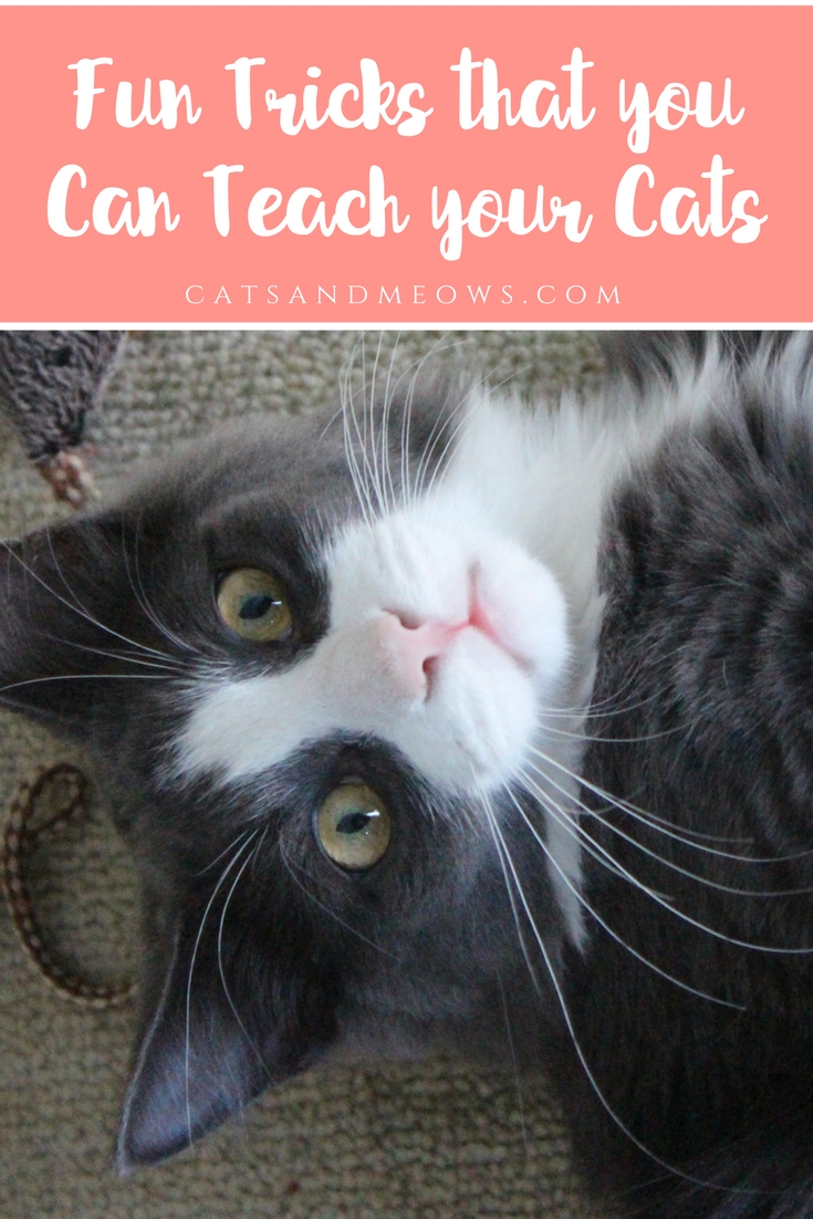 Fun Tricks that you Can Teach your Cats