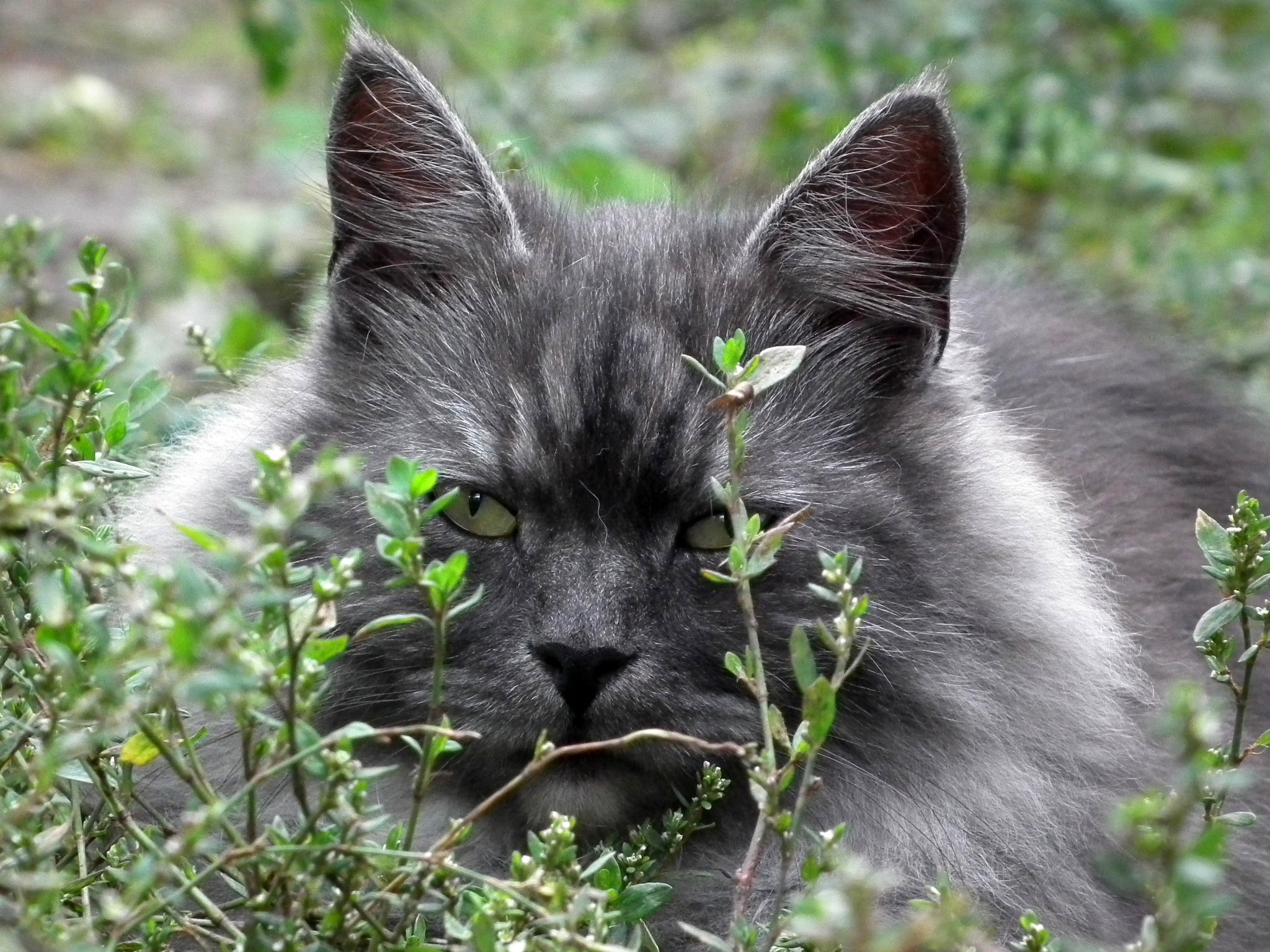 Grey spotted cat