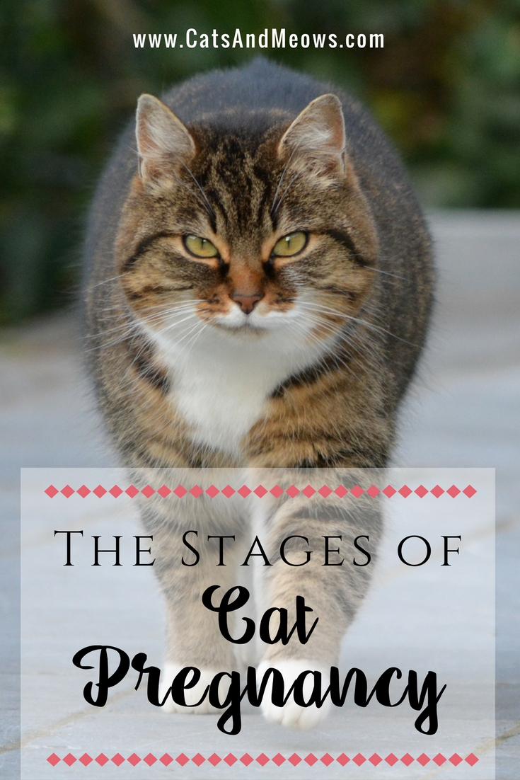 The Stages of Cat Pregnancy
