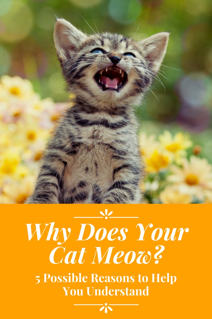Why Does Your Cat Meow? 5 Possible Reasons